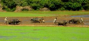Buffalo at work, Kolhapur district, Maharashtra, India